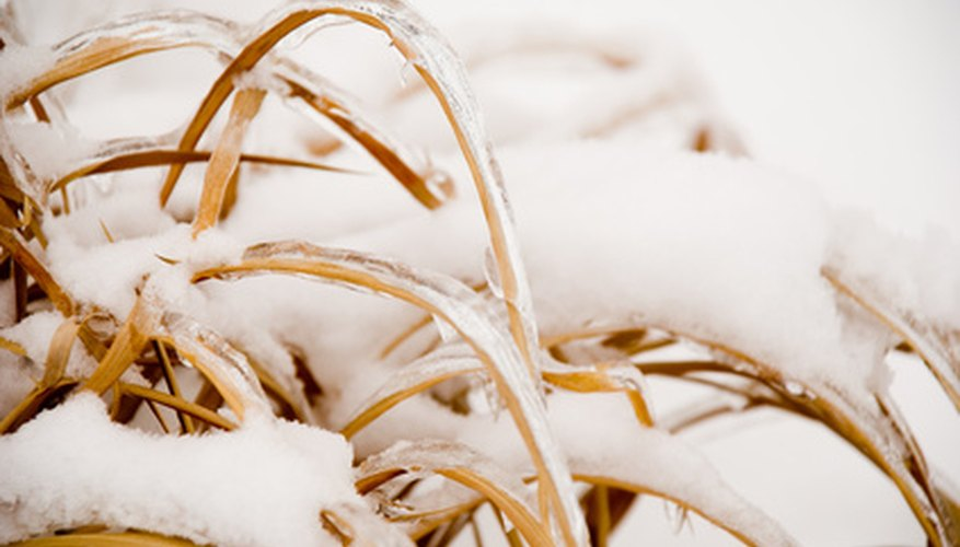 Snow insulates ornamental grasses in northern climates.