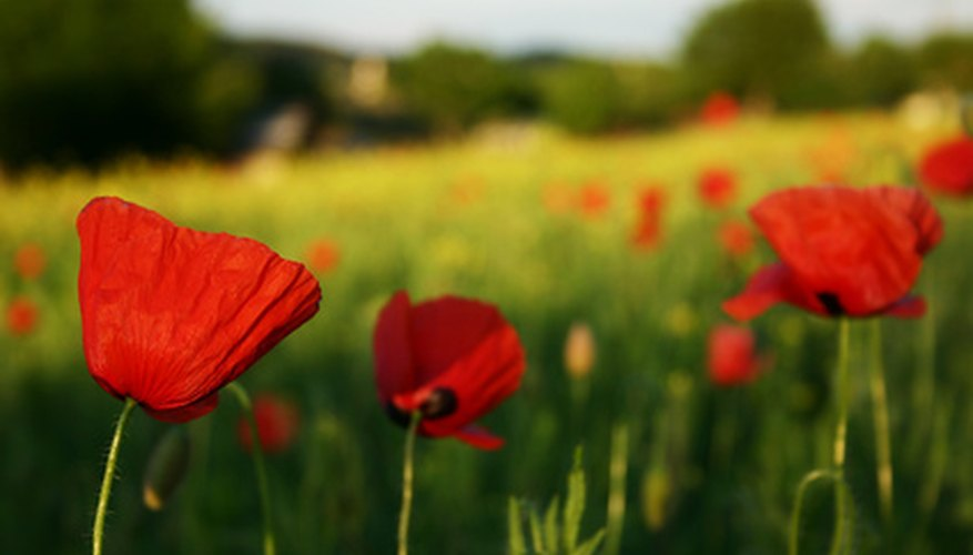 Corn poppy is the official flower of Poland.