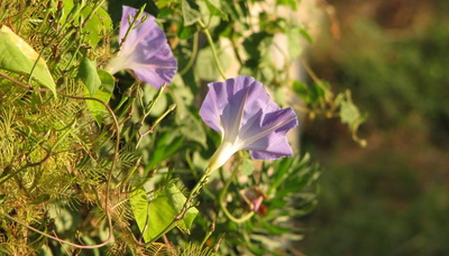 Although morning glory flowers are pretty, this plant is considered invasive.
