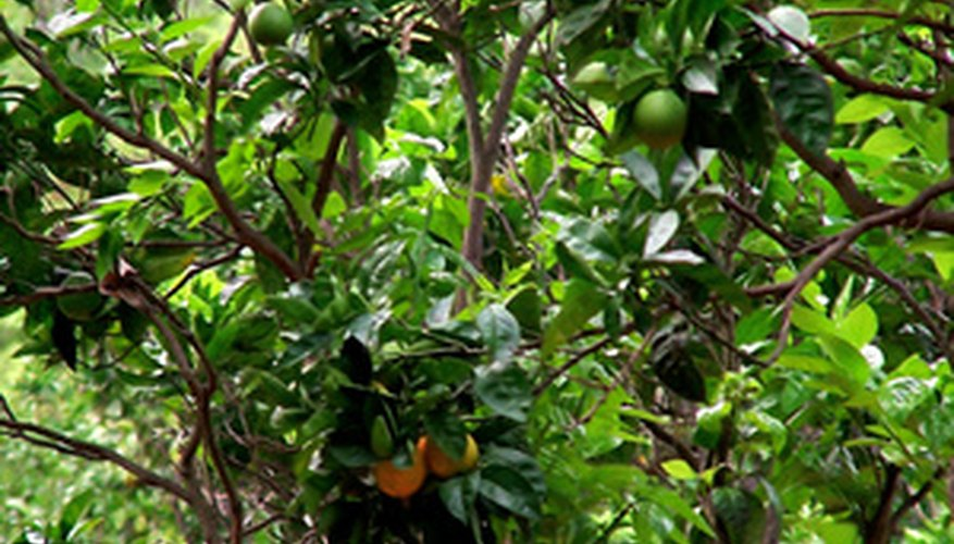 Organically fertilized citrus rely on integrated fertilization practices.