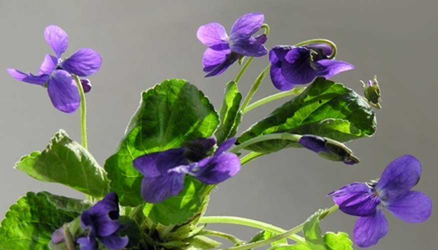 Wild violets can be potted for indoors.