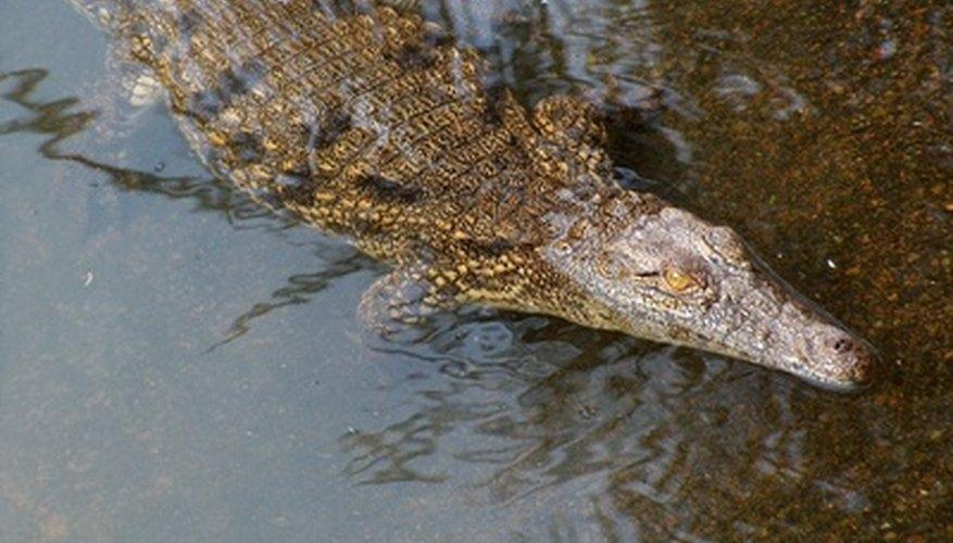 Los jóvenes cocodrilos del Nilo cazan pequeñas presas, como insectos, pequeñas aves y peces.