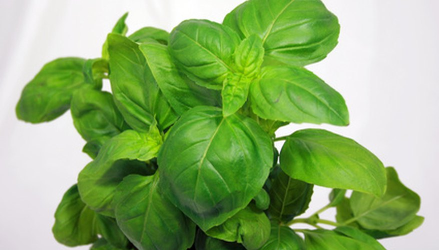 A healthy sweet basil plant