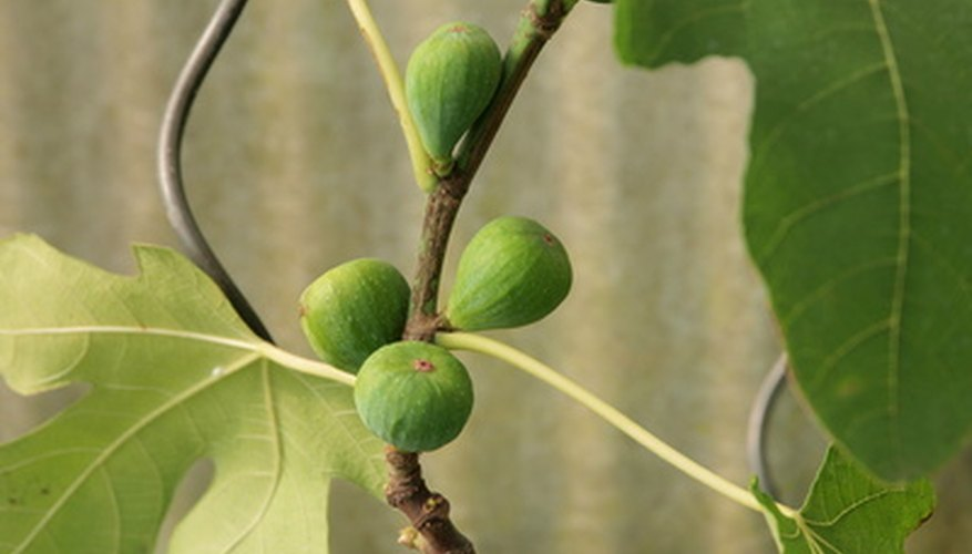 Developing fig fruits, each botanically called a