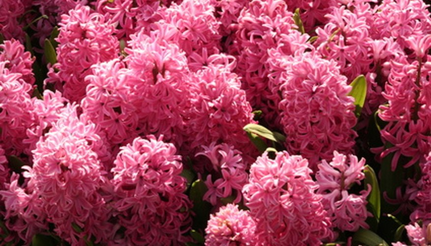 Hyacinth is a striking flower that is not appealing as a squirrel buffet.