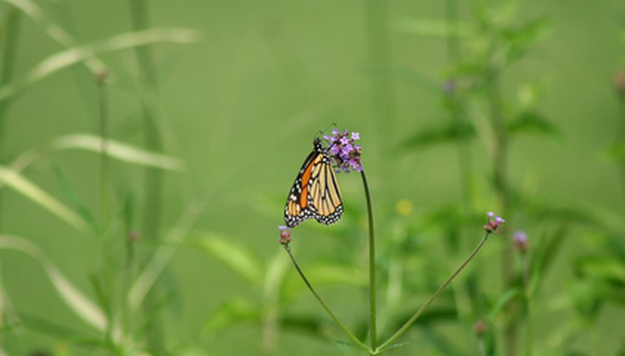 Butterfly weed is a host plant for the monarch butterfly.