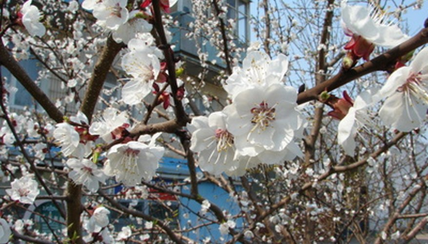 Apricot trees bloom heavily in early spring, especially if properly watered.