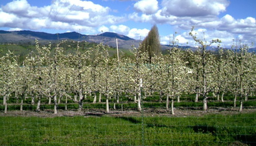 Fungus disease is easily spread from one pear tree to another.