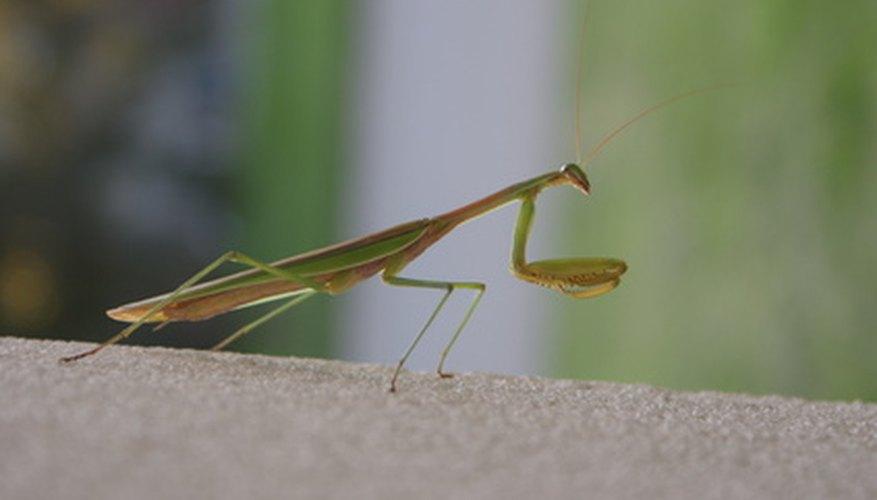 Los insectos palo y las mantis religiosas no pertenecen al mismo orden pero poseen camuflajes similares.