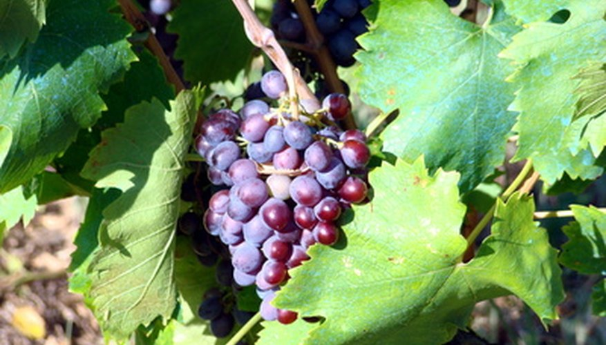 Muscadine grapes that are