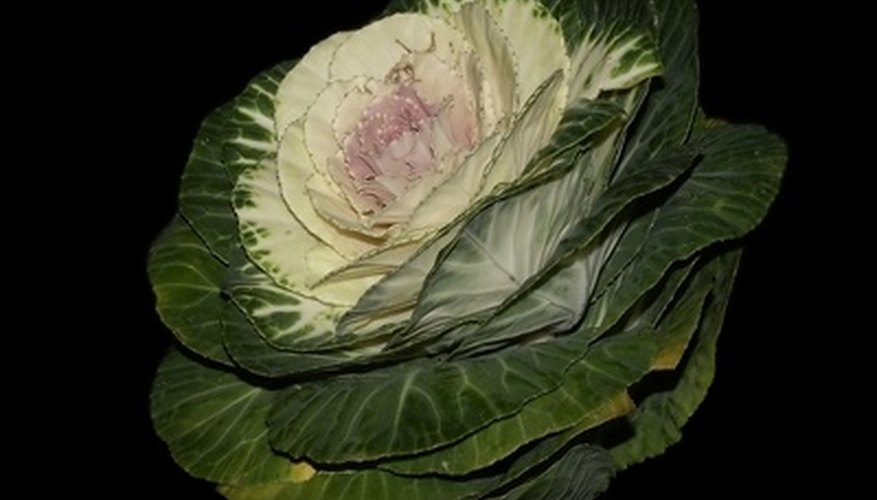 Fall cabbage