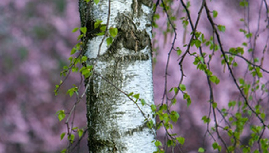 A birch tree trunk.
