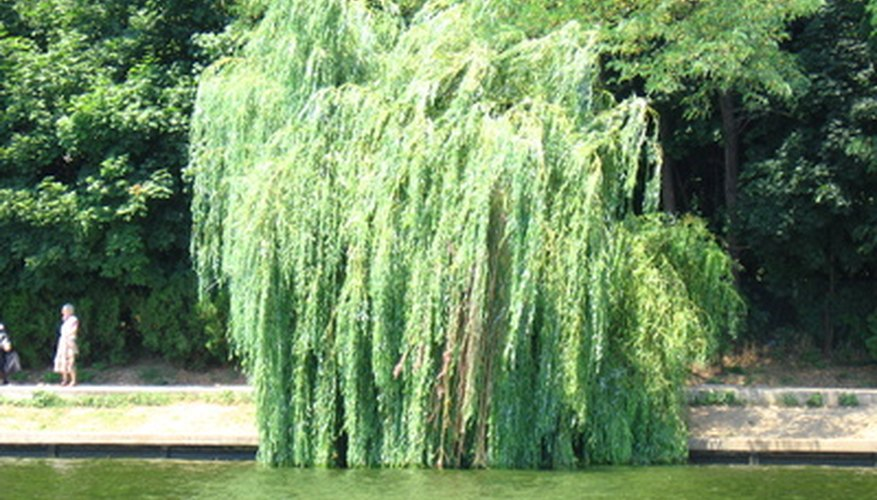 Weeping willows often grow near water.