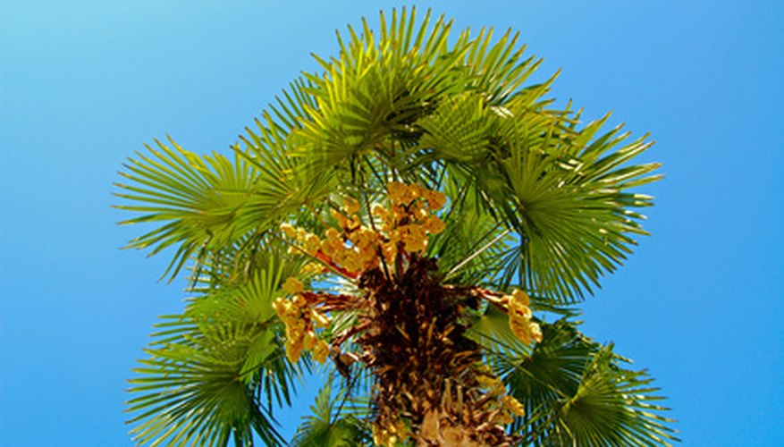 A tall windmill palm with flower stalks dangling below the canopy.