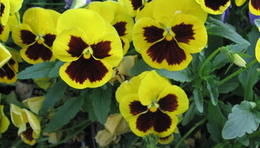 Healthy pansy plants exhibit both bright green foliage and plenty of blooms.