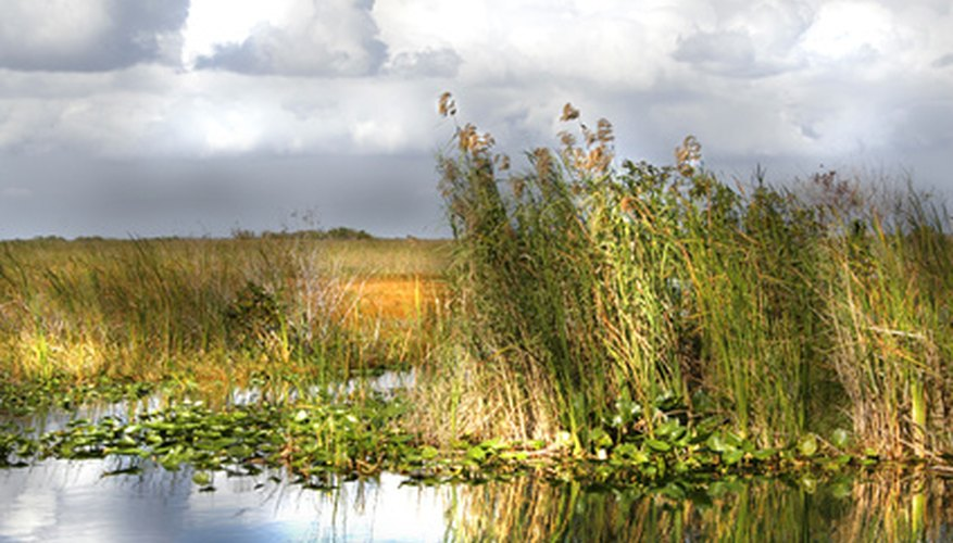 A variety of grasses grow in the Everglades.