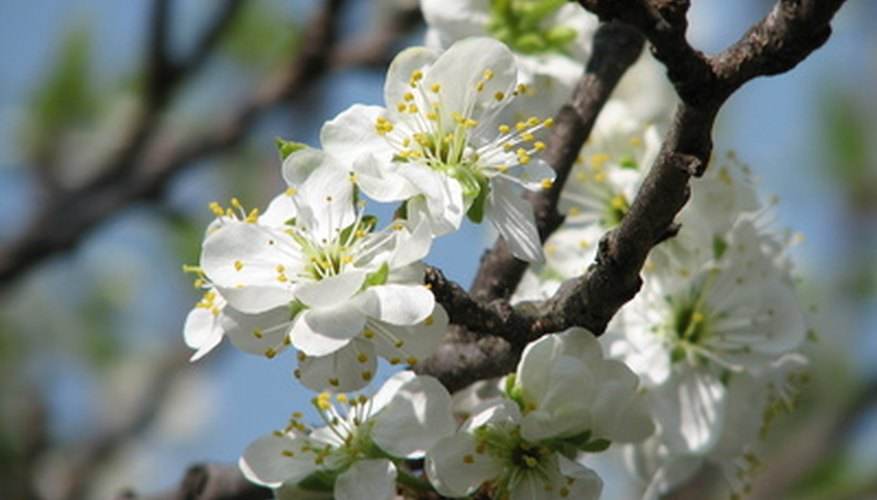 Plum tree flowers are ornamental in early spring.