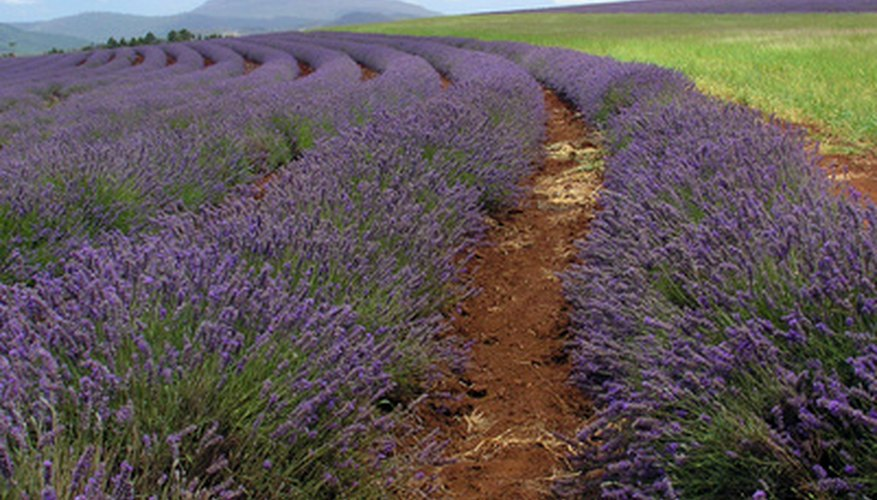 Lavender provides beauty in the garden and relaxation for the mind.