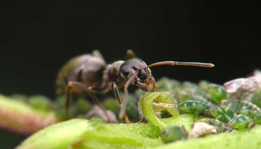 Ants in your orange tree may actually be farming other insects for their honey dew.