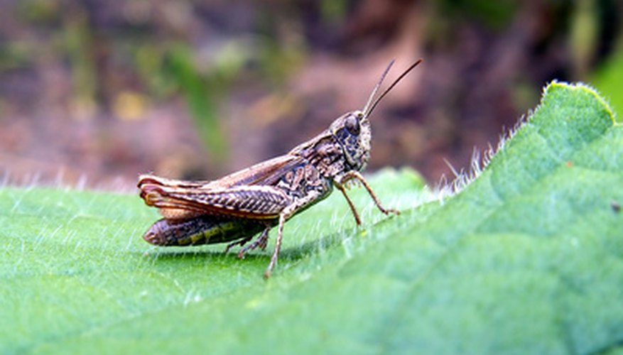 Grasshoppers need to be controlled.