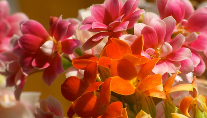 Kalanchoe features brightly-colored blooms.