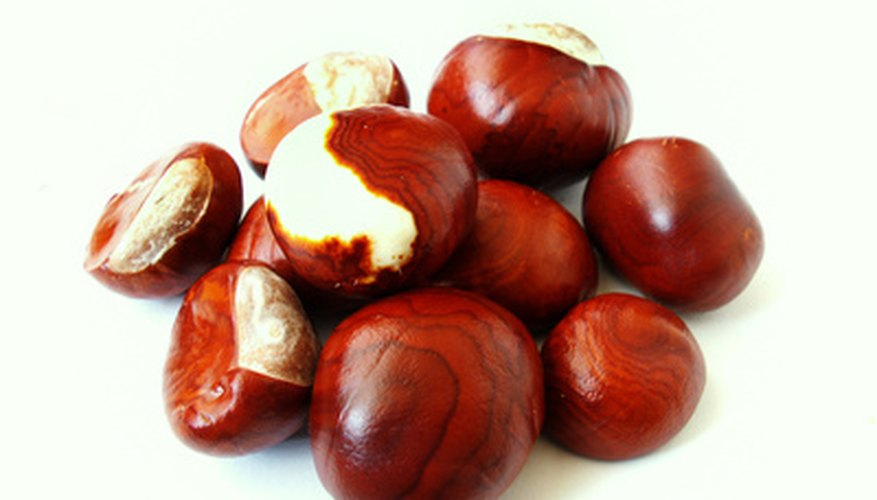 Chestnut trees produce think, meaty nuts.