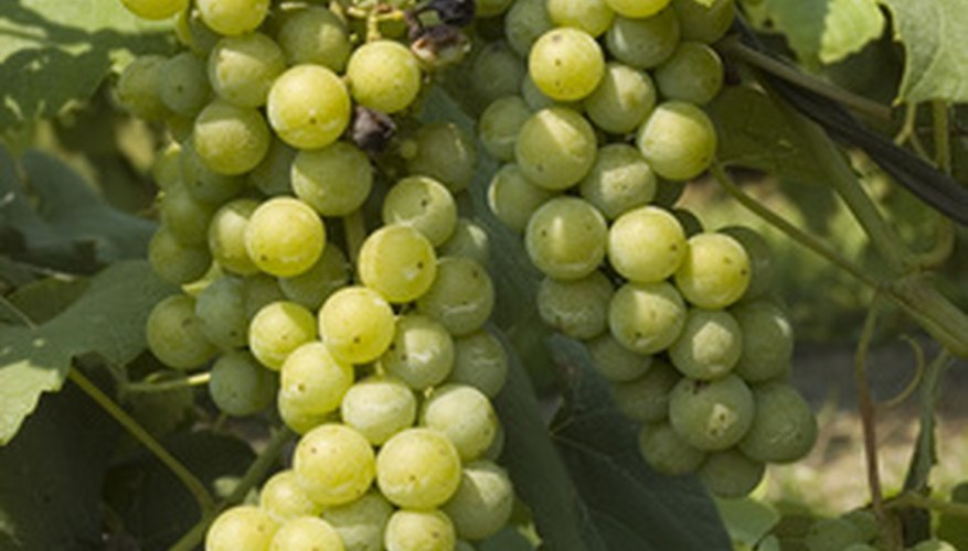 Scuppernong grapes are native to the United States.
