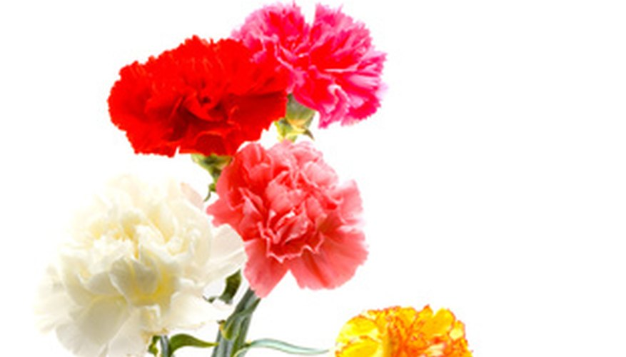 Carnations' many colors mean different things in floriography.