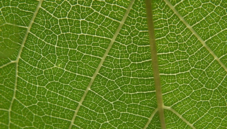 Chlorophyll gives leaves their green color.