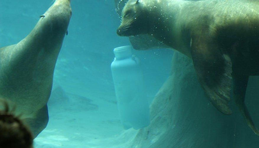 Las focas blancas son llamadas focas arpa.