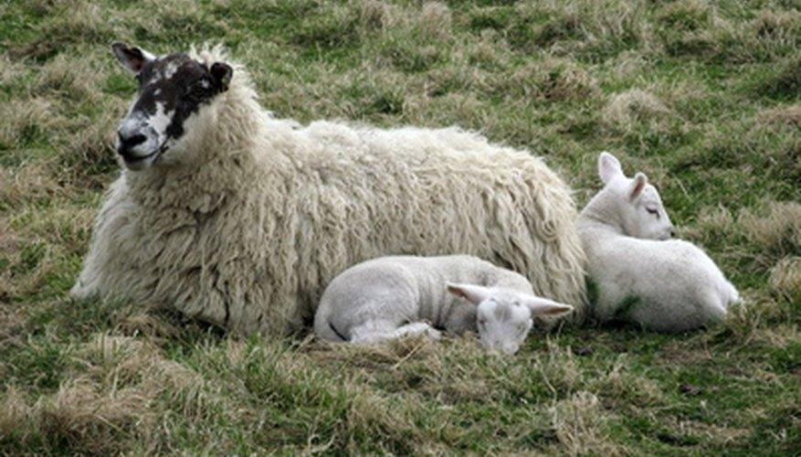Los corderos gemelos son muy comunes.