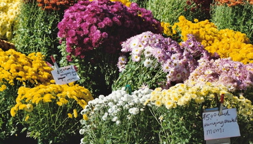 Mums come in a veriety of colors and styles.