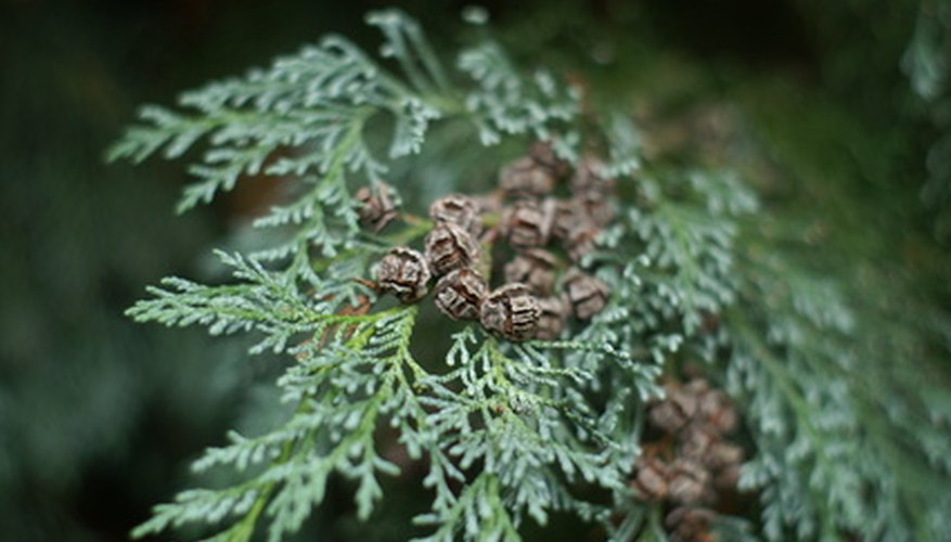 Cypress trees have delicate, lacy foliage.