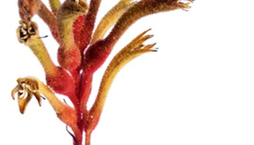 Kangaroo paw flowers are brightly colored.