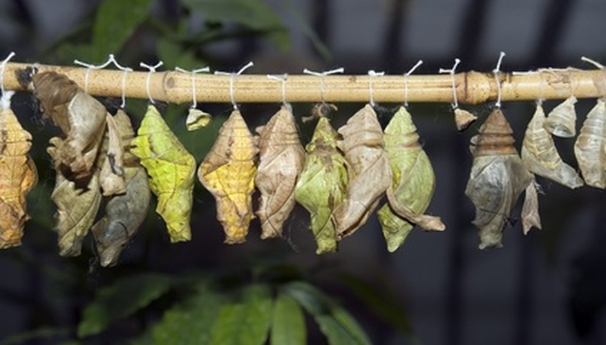 Caterpillars and silkworms make cocoons to become butterflies and moths.