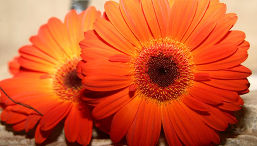 Bright Gerber daisy blooms can eliminate gloom.