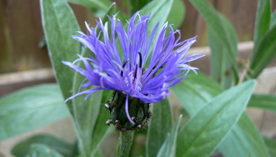 Cornflower or bachelor's button