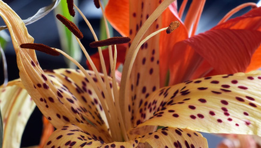 Breeders have widened tiger lily's color range.