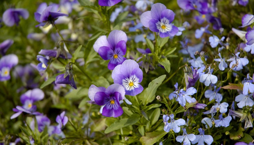Wild violets can quickly overtake a lawn without a proper herbicide treatment