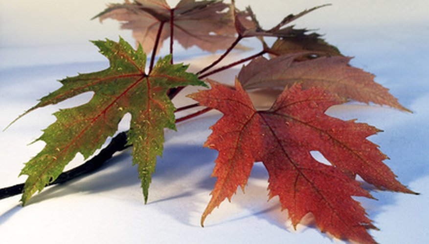 Silver maple leaves, burnished red color with silver backs