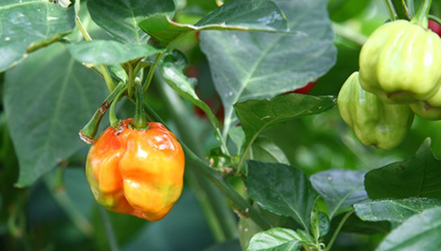 Habanero peppers contain a large amount of capsaicin.