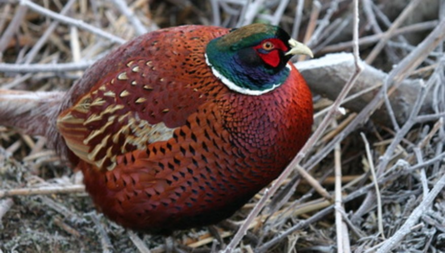 Ground-nesting birds such as pheasants appreciate the nesting cover a food plot provides.
