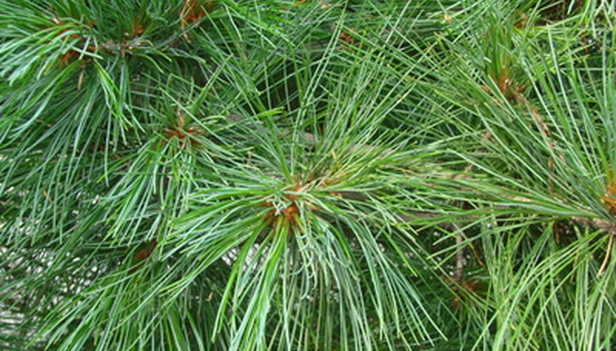 Pine needles are attached in bundles to the branch by a covering of scales.
