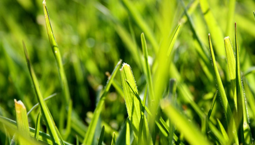 Types Of Yard Grass In Mississippi Garden Guides