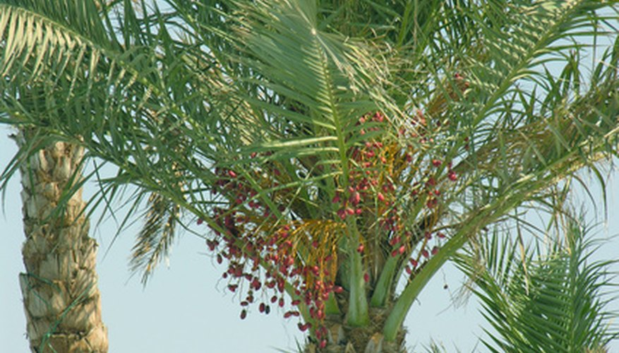Prune date palms carefully.