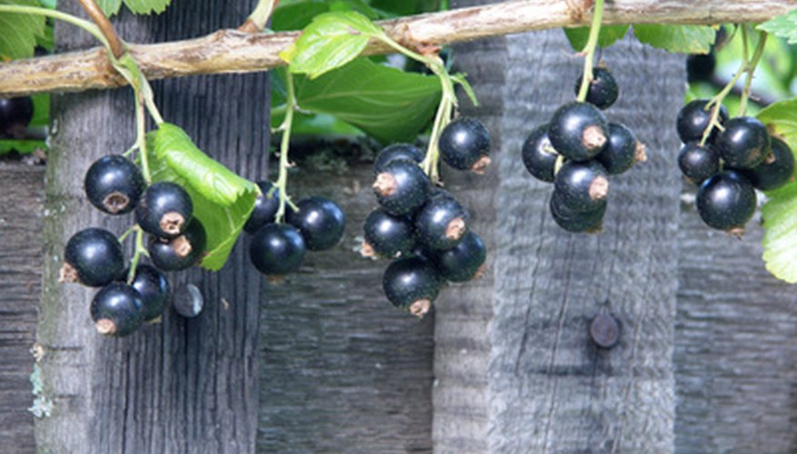 Small black currants have a powerful flavor that makes a traditional sweet wine.