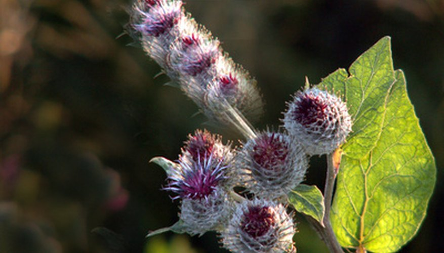 Choose thistles with fuzzy, lavender blooms for drying.