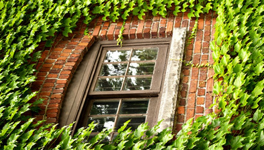 Boston ivy can quickly cover a building.