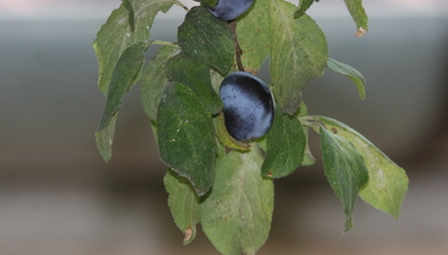 Blue Damson plums dangling from a branch.