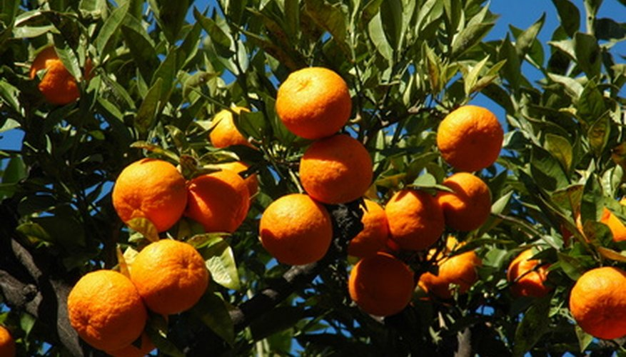 Florida oranges susceptible to sudden freeze.